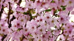 Naturvideoabschluß herauf Japan-Kirschblüte auf dem Kirschbaum sind- Jahreszeit der vollen Blüte des Winds im Frühjahr, 4K oder U stock footage
