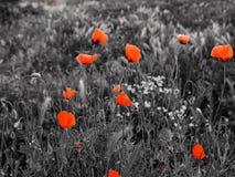 Natury łąka kwitnie maczki czerwonych na szarość Obraz Royalty Free