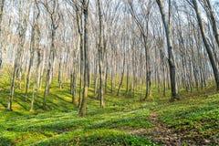 Natury światła słonecznego zieleni drewniani tła lasowej zieleni wiosna Zdjęcie Stock