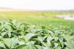 Natury fotografia autentyczni organicznie zielona herbata liście biznesowi obrazy stock