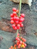 Natury jagody wizerunek Obrazy Stock