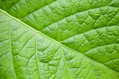 Natury makro- tło z jaskrawym - zielony liść Zdjęcia Royalty Free