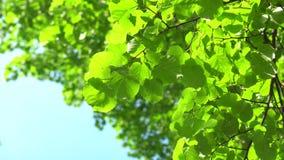 Natury niebieskiego nieba jasny tło z świeżym pierwszy wiosny ulistnieniem drzewa jak naturalną ramę Rzeczywisty 4k materia? film zbiory wideo