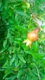 Natury owoc i ładni spojrzenie liście fotografia royalty free