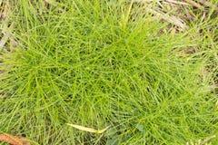 Natury rosy świeża kropla na kreskowej zielonej trawie Fotografia Royalty Free