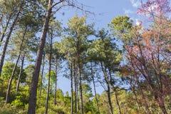 Natury Sakura krajobrazowy drzewo i niebieskie niebo Obrazy Stock
