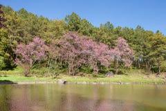Natury Sakura krajobrazowy drzewo i niebieskie niebo odbijaliśmy w rzece Zdjęcie Stock