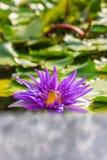 Natury tła pojęcie: Purpurowy lotosowy kwiat fotografia royalty free