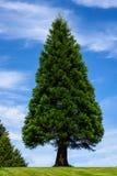Natury tło symetryczny trójbok kształtował wiecznozielonego drzewa z niebieskim niebem z smugowatymi białymi chmurami w tle obraz stock