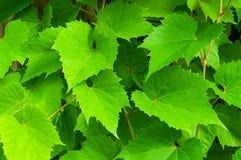 Natury tło winogrono opuszcza - w łacińskim Vitis Fotografia Royalty Free
