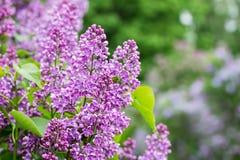 Natury tło z lilymi kwiatami ogrodowy bez Fotografia Stock