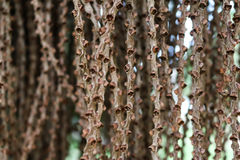 Natury tło, ziarno fishtail palma Fotografia Stock
