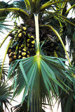 Natury Toddy palma i palmyra drzewo zdjęcia royalty free