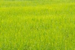 Natury trawy pola ryż fotografia stock