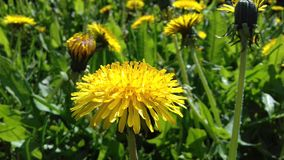 Natury wiosny Dandelion blowball taraxacum fotografia stock