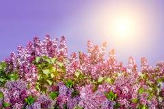 Natury wiosny tło z purpurowym bzem kwitnie przy słonecznym dniem natura w lato wiośnie w świetle słonecznym Kwiecisty tło, kopia obrazy stock