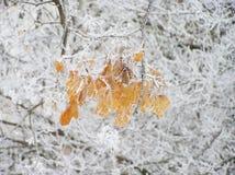Natury zima opuszcza drzewnego drzewo gałąź kij Obraz Royalty Free