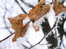 Natury zima opuszcza drzewnego drzewo gałąź kij Obrazy Royalty Free