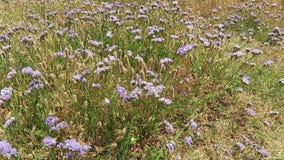Natuurlijk gebied van overzees-lavendel op coatsline van de baai van Kreta van malia Griekenland stock footage