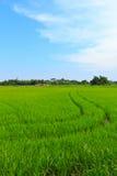 Natuurlijk gebied van rijst. Stock Fotografie