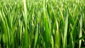 Natuurlijk groen gebied van jonge tarweslag in de wind stock video
