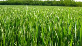 Natuurlijk groen gebied van jonge tarweslag in de wind stock footage