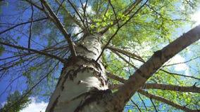 Natuurlijk landschap van hemel en berkboom - symbool van Rusland stock footage