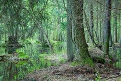 Natuurlijk moerassig bos bij de lente Stock Foto