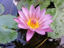 Natuurlijk nam roze kleurenwater Lily Flower van Sri Lanka toe Royalty-vrije Stock Fotografie