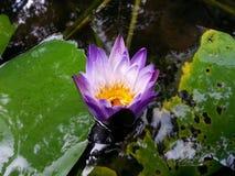Natuurlijk purper de kleurenwater Lily Flower van Lite van Sri Lanka Royalty-vrije Stock Foto's