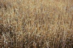 Natuurlijke achtergrond, gebied van droog gras, mening van hierboven, graangewassenbehang stock afbeeldingen