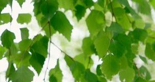 Natuurlijke achtergrond met berktakken en jonge heldere bladeren voor dagzon stock footage