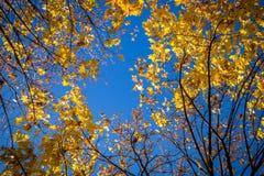 Natuurlijke achtergrond met gouden bladeren en blauwe hemel stock afbeelding