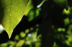 Natuurlijke achtergrond met groen blad Stock Foto