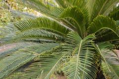 Natuurlijke achtergrond: mooie bladeren van tropische palm royalty-vrije stock afbeelding