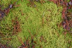 Natuurlijke achtergrond, mos in bos vroege autum, kleuren van pantone 15-0343 TCX van het jaar 2017 GROEN Stock Fotografie