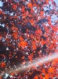 Natuurlijke achtergrond, rode esdoornbladeren en een zonnestraal stock afbeelding