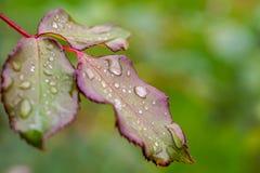 Natuurlijke achtergrond van een nat roze blad royalty-vrije stock foto