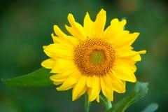 Natuurlijke achtergrond van mooie gele zonnebloem Royalty-vrije Stock Fotografie