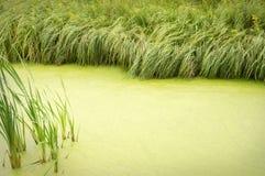 Natuurlijke achtergrond van overwoekerd met eendekroosvijver wordt omzoomd die met Royalty-vrije Stock Fotografie