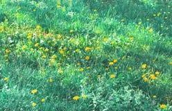 Natuurlijke achtergrond van paardebloembloemen op groen gras royalty-vrije stock foto's