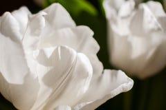 Natuurlijke achtergrond van wit tulpenclose-up royalty-vrije stock fotografie