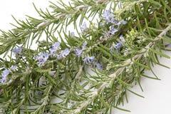 Natuurlijke anti-oxyderende rozemarijn royalty-vrije stock foto's