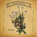 Natuurlijke Apothekerkamille stock illustratie
