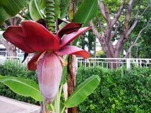Natuurlijke banaanbloem op horizontale achtergrond royalty-vrije stock fotografie