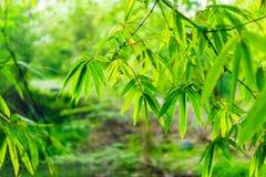 Natuurlijke bladeren en takken van bamboe Stock Foto's