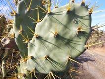 Natuurlijke cactus met doornen royalty-vrije stock fotografie
