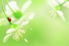 Natuurlijke de lenteachtergrond Rood lieveheersbeestje op witte kersenbloemen De ruimte van het exemplaar stock foto