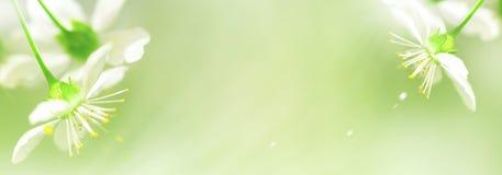 Natuurlijke de lenteachtergrond Witte kersenbloemen op een gevoelige groene achtergrond Vrije exemplaarruimte Het artistieke beel royalty-vrije stock foto