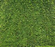 Natuurlijke die muur van bladeren wordt gemaakt Stock Afbeeldingen
